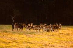 鹿在菲尼斯公园,都伯林 免版税库存照片