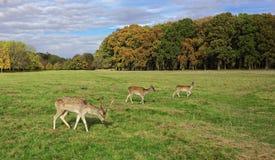 鹿在菲尼斯公园 库存照片