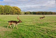 鹿在菲尼斯公园 图库摄影