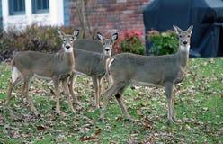 鹿在郊区 免版税库存照片