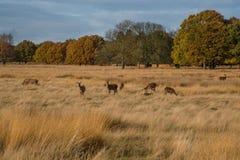 鹿在里士满公园,伦敦 库存图片