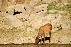 鹿在饮水池 免版税库存图片