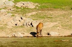 鹿在饮水池 库存图片