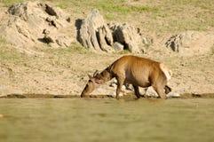 鹿在饮水池 免版税库存照片