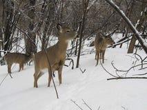 鹿在魁北克加拿大 库存照片