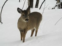 鹿在魁北克加拿大 图库摄影