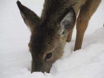 鹿在魁北克加拿大 免版税库存照片