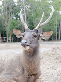 鹿在Khao亚伊国家公园热带雨林里 免版税图库摄影
