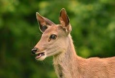 鹿在Khao亚伊国家公园,泰国讨好 免版税库存图片