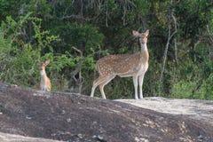 鹿在Yala 库存图片