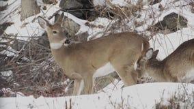 鹿场面在雪(1的4) 股票录像