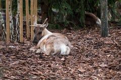 鹿坐褐色叶子在秋天期间 免版税图库摄影