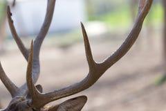 鹿垫铁在自然的一个公园 免版税库存照片
