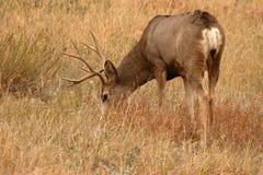 鹿大型装配架哺养 免版税库存照片
