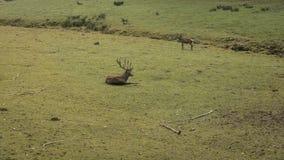 鹿夫妇 图库摄影