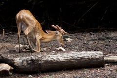 鹿奇怪的usit动物园 库存图片