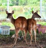 2头鹿女人气质 库存图片