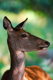 鹿女性纵向红色 库存图片
