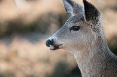 鹿女性被盯梢的白色 库存照片