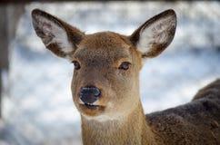 鹿女性被盯梢的白色 库存图片