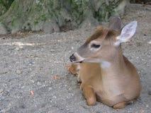 鹿婴孩,空齿鹿属virginianus 库存图片