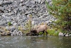 鹿家庭在公园横渡黄石河 免版税库存图片