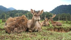 鹿家庭画象  库存图片