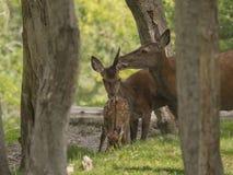 鹿家庭 图库摄影
