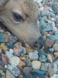鹿小牛等待 图库摄影