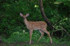鹿小鹿尾标白色 库存图片