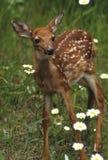 鹿小鹿开花白尾鹿 库存照片