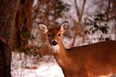 鹿小鹿面孔画象冬天雪背景 图库摄影