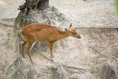 鹿小鹿 图库摄影