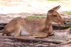 鹿开张动物园 库存图片