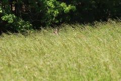 鹿捅 免版税库存图片