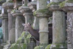 鹿掩藏在日本灯笼后的,日本 库存照片
