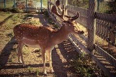 年轻鹿摆在 免版税库存照片