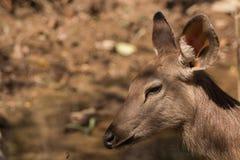 鹿放松 免版税图库摄影