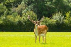 鹿新的森林英国英国 库存图片