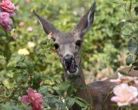鹿有前笑 免版税库存照片