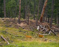 鹿森林雨 库存图片
