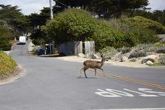 鹿横穿街道 库存图片