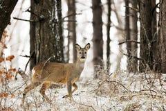 鹿欧洲獐鹿 免版税图库摄影
