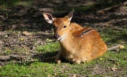 鹿欧洲獐鹿 免版税库存照片