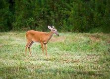 鹿母鹿哺乳动物的室外尾标白色野生&# 库存图片