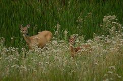 鹿母鹿小鹿骡子 库存图片