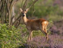 鹿母鹿獐鹿 库存图片