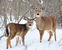 鹿母鹿白尾鹿一岁 免版税库存图片