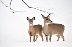 鹿母鹿白尾鹿一岁 免版税库存照片