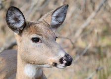 鹿母鹿白尾鹿 免版税图库摄影